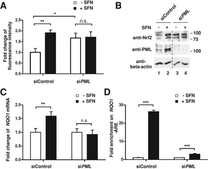 SFN-mediated Nrf2 activation is PML dependent. (A) ROS accumulation in PML knockdown HUVECs. HUVECs were transfected with a nontargeting siRNA or a PML siRNA for 72 h. Equal number of HUVECs were replated in a 96-well plate and treated with vehicle control (DMSO) or SFN at 40 μM for 1 h. The ROS level was measured according to the manufacturer's instruction. Data presented as mean ± SD from triplicates. * p