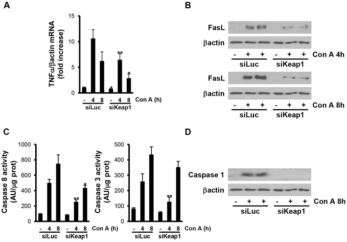 Silencing of <t>Keap1</t> in the liver by siRNA administration in vivo reduces ConA-mediated apoptosis. Analysis of cell-death markers in liver samples from luciferase siRNA (siLuc) or Keap1 siRNA (siKeap1) mice after 4 and 8 hours of ConA treatment ( n =4–6 animals per condition). (A) TNFα mRNA levels determined by real-time PCR. Data are presented as mean±s.e.m. relative to siLuc mice. (B) Representative blots with the indicated antibodies. (C) Graphics of caspase 3 and 8 enzymatic activities. Data are presented as mean±s.e.m. relative to siLuc mice. (D) Representative blots with the indicated antibodies. * P