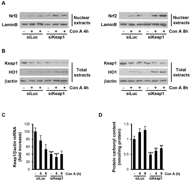 ConA-induced oxidative stress is reduced in livers from mice injected with Keap1 siRNA. Analysis of Nrf2 signaling and oxidative stress markers in liver samples from luciferase siRNA (siLuc) or Keap1 siRNA (siKeap1) mice after 4 and 8 hours of ConA treatment ( n =4–6 animals per condition). (A,B) Representative blots with the indicated antibodies. (C) Keap1 mRNA levels determined by real-time PCR. Data are presented as mean±s.e.m. relative to siLuc mice. (D) Graphic of carbonylated protein levels. Data are presented as mean±s.e.m. relative to siLuc mice. ** P