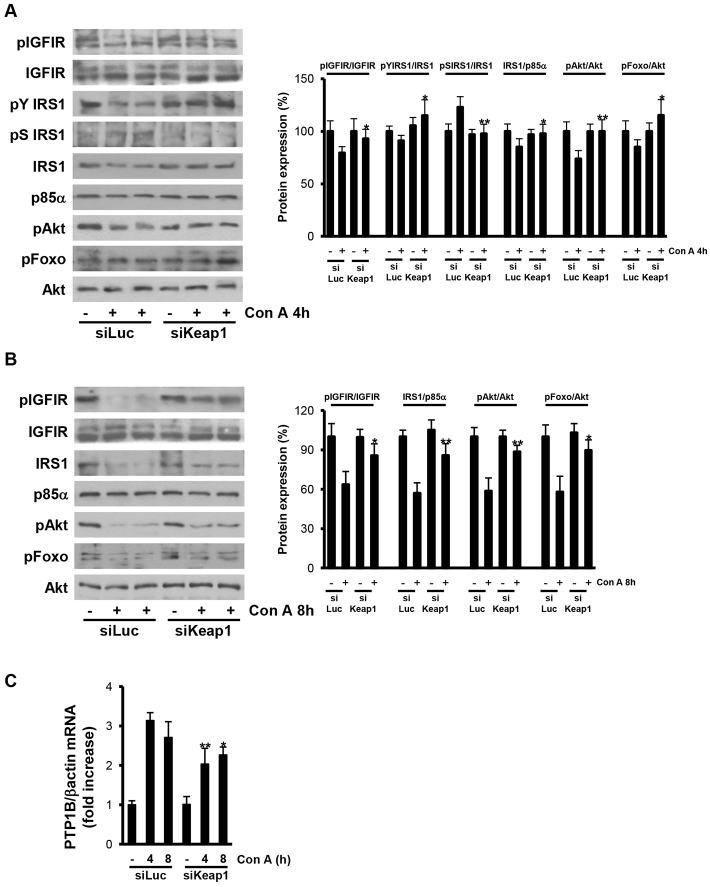 Reduction of Keap1 preserved the IGFIR survival signaling pathway in ConA-injected livers. Analysis of IGFIR survival signaling in liver samples from luciferase siRNA (siLuc) or Keap1 siRNA (siKeap1) mice after 4 and 8 hours of ConA treatment ( n =4–6 animals per condition). (A,B) Representative blots with the indicated antibodies and quantification of the densitometric analysis from all blots. Data are presented as mean±s.e.m. relative to siLuc mice. (C) PTP1B mRNA levels determined by real-time PCR. Data are presented as mean±s.e.m. relative to siLuc mice. * P