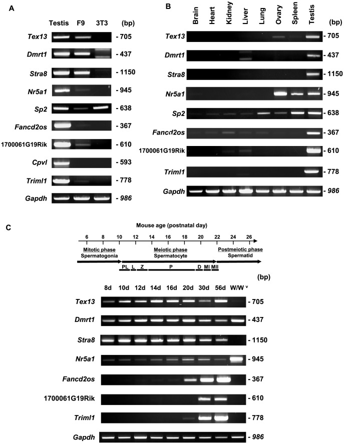Tissue distribution and developmental expression patterns of germ cell-specific genes expressed in F9 cells. A. The expression patterns of nine genes predicted to be testis-specific or -predominant, as assessed in testis, F9 cells and NIH3T3 cells. Glyceraldehyde-3-phosphate dehydrogenase ( Gapdh ) was included as a loading control. Except for Cpvl , all of the genes were detected in both testis and F9 cells. It should be noted that the two bands for Dmrt1 in NIH3T3 cells are non-specific, based on in silico investigation and an additional PCR analysis (data not shown). B. The tissue distributions of transcripts were assessed by RT-PCR analysis in various tissues of adult male mice. Complementary DNAs from various mouse tissues were amplified by PCR, with Gapdh included as a loading control. Seven genes were found to be testis-specific or -predominant. C. Developmental expression patterns during spermatogenesis. The stage-specific expression of the genes was determined from mouse testes on different days after birth (days 8, 10, 12, 14, 16, 20, 30, and 56). Abbreviations: PL , preleptotene; L , leptotene; Z , zygotene; P , pachytene; D , diplotene; MI , meiotic division I; and MII , meiotic division II. Complementary DNA from germ cell-lacking testes from W/W v mutant mice was also examined. Consistent with our microarray analysis, Tex13 , Stra8 , Fancd2os , 1700061G19Rik and Triml1 were found to be germ cell-specific.