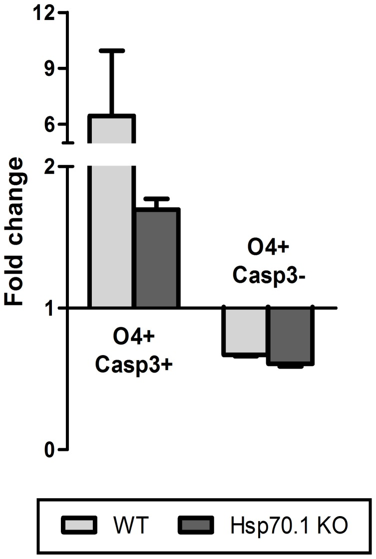 Oligodendrocyte precursor cell susceptibility to apoptotic induction following inflammatory stress. Analysis of Casp3 expression in O4+ cells following an inflammatory stress. The fold change of apoptotic (Casp3+) and viable (Casp3-) O4+ cells was similar in the WT and Hp70.1 KO CNS cell cultures after 24 h of stimulation with LPS plus IFN-γ. The error bars correspond to the SEM.