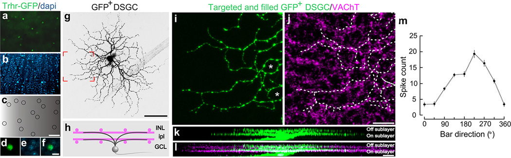 Signature anatomical and physiological characteristics of <t>GFP</t> tagged On-Off DSGCs Flat mount retina with a , GFP + On-Off DSGCs. b , co-stained with dapi. c , Positions of GFP + RGCs. Scale in c , 150 µm. d–f , High magnification views. Scale, 12 µm. g , Targeted fill of a GFP + DSGC. Scale, 50 µm. h , Schematic of On-Off DSGC stratification and starburst amacrine cells (magenta). Labeling as in Extended Fig. 1 . i,j , Higher magnification of framed region in g stained for <t>VAChT</t> (starburst amacrine processes). Asterisk: 'looping arborizations'. Dashed line: GFP arbor, which matches VAChT plexus. Scale, 10 µm. k,l , Side (x-z plane) views of cell in ( g ). GFP + dendrites co-stratify with both the On and Off sublayers. Scale, 5 µm. m , Direction-tuned response of a GFP + On-Off DSGC targeted for recording and receptive field characterization. The spike count is highest for bars moving toward ~270° in the cardinal axes.