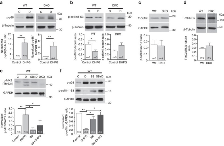 The p38-MK2/3-cofilin1 cascade is required in DHPG-LTD. ( a – f ) Representative blots of non-stimulated (C), DHPG-incubated (100 μM, 10 min; D), pre-incubated with p38 inhibitor SB 203580 (5 μM) alone (SB) or pre-incubated with DHPG application (SB+D) cultures from WT and MK2/3 DKO hippocampus. ( a ) DHPG causes a significant increase in p-p38 at (Thr180/Tyr182) and ( b ) a significant reduction in p-cofilin1 in WT cells, an effect that is blocked in DKO cells. Note that no change in total cofilin1 ( c ) or mGluR5 ( d ) expression is detected between genotypes. ( e ) Blot showing a significant increase in phosphorylation of MK2 (Thr334) after DHPG-exposure in WT cells, an effect blocked by pre-incubation with SB. ( f ) Blot showing that the DHPG-dependent reduction in levels of p-cofilin1 (Ser3) is blocked by pre-incubation of p38 inhibitor SB 203580 (5 μM) in WT hippocampal cultures. Incubation of SB alone does not promote any significant changes in cofilin1 phosphorylation. Glyceraldehyde 3-phosphate dehydrogenase (GAPDH) and β-tubulin were used as loading controls. Western blot band densitometry analyses were obtained from a minimum of three different primary hippocampal preparations from the WT and DKO mice. T -tests, one-way analysis of variance and the appropriate post-hoc test were conducted accordingly for each data set. Error bars indicate ±s.e.m. and * P
