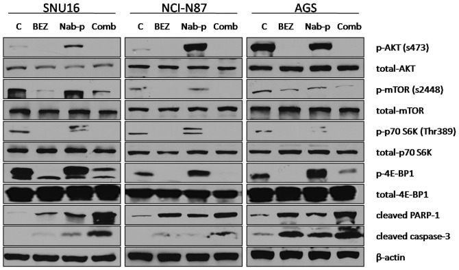 BEZ235 and nab-paclitaxel effects on the PI3K-mTOR signaling pathway and apoptosis-related proteins. Subconfluent monolayers of human gastric cancer cells SNU16, NCI-N87 and AGS were treated with PBS control (C), BEZ235 (10 μ M), nab-paclitaxel (10 μ M), or a combination for 16 h. Total cell extracts were analyzed by immunoblotting for p-Akt (Ser473), total Akt, p-mTOR (Ser2448), total mTOR, p-p70 S6K (Thr389), total p70 S6K, p-4E-BP1 (Thr37/46) and total 4E-BP1, cleaved PARP-1, cleaved caspase-3 and β-actin (loading control). Data are representative of two independent experiments with similar results.