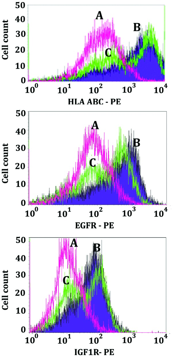 Apoptotic decreases in HLA, EGFR and IGF1R cell surface determinants. Composites (curves A, pink; curves B, purple; and curves C, green) of flow cytometry histograms showing phycoerythrin fluorescence intensity vs. cell count for the LN18 histocompatibility antigens HLA-ABC, and cell surface growth factor receptors EGFR and IGF1R. All curves were obtained by using mouse primary antibodies followed by goat anti-mouse-IgG conjugated to phycoerythrin. Curves labeled A (pink) show the non-specific labeling that was obtained by using mouse anti-KLH as a primary antibody. Curves labeled B (purple) indicate the fluorescence obtained by the mouse antibodies specific for the determinants noted in the abscissae for the non-treated vehicle control (DMSO) LN18 cells. Curves labeled C (green) indicate the fluorescence obtained by the mouse antibodies specific for each of the determinants noted in the abscissae for those LN18 cells treated with MK886 for 14 h.