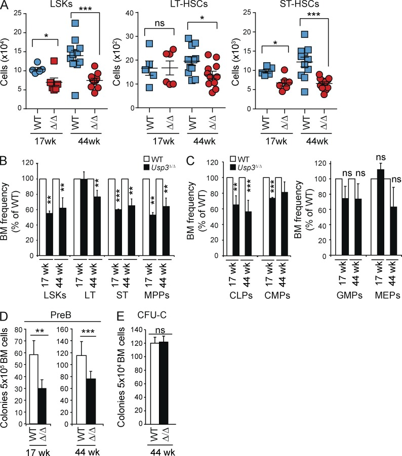 Reduced size of adult HSC and CLP compartments and impaired pre–B lymphoid colony-forming activity in vitro in Usp3 Δ/Δ mice. (A–C) Multiparameter flow cytometry analysis of primitive hematopoietic populations. Gating strategies and representative FACS profiles are presented in Fig. S2 . (A) Absolute cell numbers of primitive populations from BM (2 femurs and 2 hips bones) of WT and Usp3 Δ/Δ mice: LSK (Lin − Sca1 + cKit + ), LT-HSC (LSK, flk2/CD135 − , CD150 + , CD34 − , LT-HSC), and ST-HSC (LSK, flk2/CD135 − , CD150 + , CD34 + , ST-HSC). Mean ± SEM is shown. (B and C) Frequency of LSKs, LT-HSCs, ST-HSCs, and MPPs (B) or CLPs, CMPs, GMPs, and MEPs (C) in BM of Usp3 Δ/Δ mice was calculated and normalized relative to WT animals. Mean ± SD is shown. (A–C) Results are from two (17 wk) or three (44 wk) independent experiments. 17 wk, n = 5 per genotype; 44 wk, n = 11 per genotype. (D and E) BM cells from WT or Usp3 Δ/Δ mice were assayed for pre–B (D) or myeloid colony-forming (CFU-C; E) ability. Results are from at least two independent experiments, n = 3 per group per experiment. Mean ± SD is shown. For all panels: *, P ≤ 0.05; **, P ≤ 0.01; ***, P ≤ 0.001; ns, not significant.
