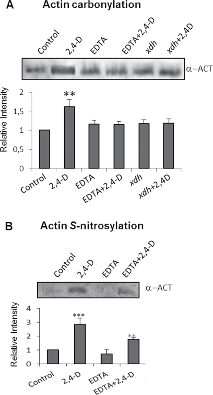 Analysis of post-translational modifications of actin by carbonylation and S -nitrosylation. (A) Detection of carbonylated actin. Proteins from leaf extracts (500 μg) were derivatized with DNPH and immunoprecipitated with anti-DNP-IPA as indicated in the Materials and methods. Oxidized-purified proteins (10 μl) were subjected to SDS–PAGE, transferred onto PVDF membranes, and analysed with an anti-actin antibody. The figure is representative of four independent experiments. (B) Detection of S -nitrosylated actin. S -Nitrosylated proteins were labelled with biotin and immunopurified with anti-biotin–IPA, separated by SDS–PAGE, and the actin was identify by western blot analysis using an anti-actin antibody. The figure is representative of three independent experiments.