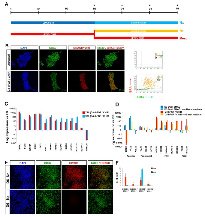 Generation and characterisation of hNMPs. (A) Scheme describing the culture conditions employed for neural differentiation of hES cells treated for 72 h either with FGF/CHIR or subjected to dual SMAD inhibition (LDN, LDN193189; SB43, SB431542). (B) BRACHYURY/SOX2 immunocytochemistry in undifferentiated and FGF/CHIR-treated (48 h) hES cells. Corresponding graphs depict image analysis of BRACHYURY and SOX2 expression in the indicated culture conditions. Numbers: percentages of cells in each quadrant. (C) qPCR analysis for indicated markers in hES cells treated with FGF/CHIR for 72 h (D3) or 96 h (D4). Error bars = s.d. (n = 2). Results are represented as log 10 ratio of expression versus untreated hES cells. (D) qPCR analysis for indicated differentiation markers in hES cells differentiated in N2B27 following either an NM progenitor induction- (N P ) or a dual SMAD inhibition-intermediate step (N A ). Error bars = s.d. (n = 2). Anterior, anterior neural markers; PXM, paraxial mesoderm; n/d, not determined. (E) Immunocytochemistry for SOX2/HOXC8 in N A and N P culture conditions indicated in the scheme (A). (F) Quantitation of the coexpression of Hoxc8 with Sox2 in N A and N P conditions. All data used to generate the plots can be found in Data S5 .