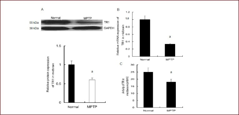 Effect of 1-methyl-4-phenyl-1,2,3,6-tetrahydropyridine (MPTP) intraperitoneal injection on thioredoxin reductase 1 (TR1) expression and thioredoxin reductase (TR) activity in the midbrain of mice. Seven days after MPTP treatment, the midbrain of mice was dissected out and TR1 expression levels and TR activity were evaluated. (A) Decreased level of TR1 protein was observed in MPTP-treated mice by western blot analysis. Data are expressed as the ratio of the absorbance of the target gene to that of the GAPDH control. (B) TR1 mRNA level in the midbrain of mice was measured using real-time reverse transcription-PCR. A significant reduction in TR1 mRNA level was found in the MPTP-treated mice. Results are expressed as the ratio of the absorbance of the target gene to that of the GAPDH control. (C) TR activity in the midbrain of the mice was evaluated using a thioredoxin reductase assay kit. MPTP decreased TR activity in the mouse midbrain. Data are expressed as mean ± SEM, and there were six mice in each group. a P