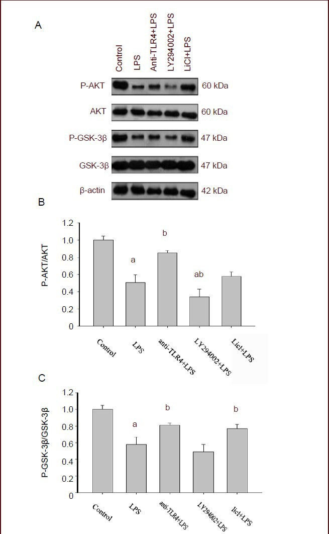 Protein kinase B (AKT) and glycogen synthase kinase-3β (GSK-3β) phosphorylation levels in hippocampal neurons. (A) Representative western-blots for AKT, phosphorylated AKT Ser473 (P-AKT Ser473 ), GSK-3β and phosphorylated GSK-3β Ser9 (P-GSK-3β Ser9 ) protein from hippocampal neurons. (B, C) Quantification of P-AKT Ser473 and P-GSK-3β Ser9 protein levels normalized to the total expression of AKT and GSK3β. The data are expressed as mean ± SEM ( n = 3). The statistical significance of differences between groups was determined by one-way analysis of variance followed by Tukey's post hoc multiple comparison tests. a P
