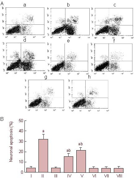 Apoptosis induced by 0.75% isoflurane (Iso) in primary cultured hippocampal neurons. (A) Scatterplot of apoptosis induced by 0.75% Iso. (a) Control; (b) Iso + 1.8 mM [Ca 2+ ] 0 ; (c) Iso + 1 μM brilliant blue G (BBG); (d) Iso + 0 mM [Ca 2+ ] 0 ; (e) Iso + 1 μM Xestospongin C (Xc); (f) Iso + 0 mM [Ca 2+ ] 0 + 1 μM Xc; (g) 1 μM BBG; (h) 1 μM Xc. Right upper quadrant represents the area with necrotic neurons; right lower quadrant represents the area with apoptotic neurons; left lower quadrant represents the area with normal neurons. (B) The percentage of neuronal apoptosis in all groups (mean ± SD, n = 6, one-way analysis of variance followed by least squares analysis). a P