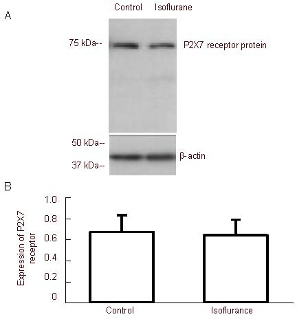 Effect of isoflurane on the expression of P2X7 receptor protein in hippocampal neurons. (A) Western blotting results of P2X7 receptor protein in neurons. (B) Quantitative analysis of P2X7 receptor protein. Control: Neurons in normal conditions; isoflurane: neurons were treated with 0.75% isoflurane for 8 hours. The expression of P2X7 receptor protein was expressed as the ratio of the absorbance value between P2X7 receptor protein and β-actin. The expression of P2X7 receptor protein after the neurons were treated with 0.75% isoflurane did not change compared with control (mean ± SD, n = 6, Student's t -test).
