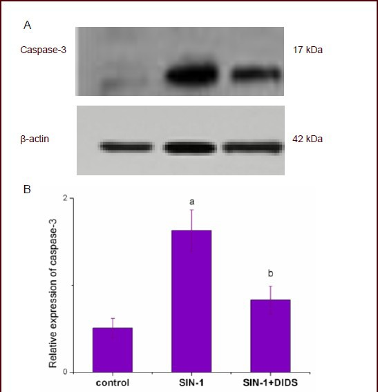 Effect of 4,4'-diisothiocyanostilbene-2,2'-disulfonic acid (DIDS; the chloride channel blocker) on caspase-3 protein expression in a hippocampal neuronal apoptosis model. In the 3-morpholinosyndnomine (SIN-1; a nitric oxide donor) group, hippocampal neurons were cultured in neurobasal complete medium supplemented with SIN-1; in the SIN-1 + DIDS group, hippocampal neurons were cultured with medium containing SIN-1 and DIDS for 18 hours. Western blot analysis was performed to detect the expression of activated caspase-3, with the β-actin level used as an internal control. (A) Protein electrophoretic band diagram. (B) Quantification of caspase-3 protein expression (gray value ratio of each band to the gray value of β-actin). The data from three independent experiments are expressed as mean ± SD, n = 6, and analyzed using one-way analysis of variance followed by least significant difference test. a P