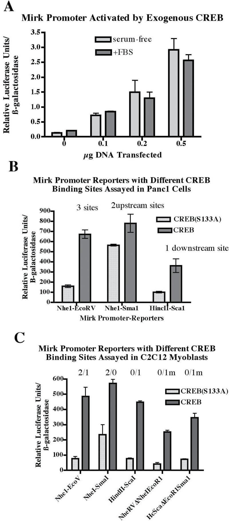 Mirk promoter activated through CREB binding sites. ( A ) Dose-dependent activation of Mirk promoter–luciferase reporter by increasing amounts of transfected CREB. Panc1 cells were transfected with 0.5 µg pMp (Nhe1-EcoRv-luciferase 9657kb) Mirk promoter–reporter and 0.25 µg β-galactosidase reporter plus increasing amounts of the CREB expression plasmid. Cells were cultured overnight either in serum-free DMEM or serum-containing growth medium before lysis and assay. Data are mean ± SD ( n = 3). ( B ) Panc1 cells were transfected with 0.5 µg of either the 9600bp Nhe1-EcoRv-luciferase Mirk promoter–reporter containing two upstream putative CREB binding sites and one site in exon 4, the 5887bp NheI-Sma Mirk promoter–reporter containing two upstream putative CREB binding sites only or the 4830bp HincII-Sca1 Mirk promoter–reporter containing only the putative CRE binding site in exon 4. Cotransfected were 0.25 µg β-galactosidase reporter plus 0.5 µg of either the wild-type or S133A mutant CREB expression plasmid. Cells were cultured overnight in serum-free DMEM to allow Mirk expression before lysis and assay. Data are shown as mean ± SD ( n = 3). ( C ) C2C12 myoblasts in 12-well plates were transfected for 4h with 2 µl Lipofectamine Plus and the 0.25 µg β-galactosidase reporter, 0.5 µg of either the wild-type or S133A mutant CREB expression plasmid and 5 µg of the three Mp-luciferase constructs listed in panel B plus 2 mutant constructs. The cells were cultured overnight, in DMEM + 10% FBS, then washed and placed in differentiation medium (DMEM plus 2% horse serum) for 24h before assay. Data are shown as mean ± SD ( n = 3). Results are one of three similar experiments. The numbers above the bars indicate whether the construct has one or two upstream CREB sites/downstream site, either wild-type or mutant (m).