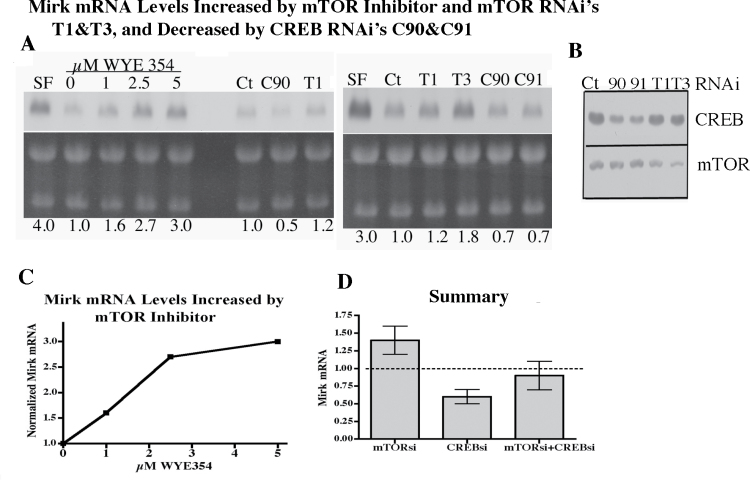 Mirk mRNA levels increased by either depletion or inhibition of mTOR and decreased following CREB depletion. ( A ) Northern analysis of Mirk mRNA levels. Left: Panc1 cells treated with increasing concentrations of WYE354 for 1 day before northern analysis (lanes 2–5). Panc1 cells were transfected (5 µl RNA interference (RNAi)/5 µl Lipofectamine 2000) for 1 day in complete medium with either RNAi FRAP1HSS103825 (T1) to mTOR/FRAP, RNAi C90 to CREB or a GC-matched negative control RNAi (Ct) then switched for 1 day serum-free DMEM to allow Mirk expression before analysis, lanes 6–8. Positive control for high Mirk expression, 1 day serum-free culture. Right: Panc1 cells were transfected either RNAi's FRAP1HSS103825 (T1) or FRAP1HSS103827 (T3) to mTOR/FRAP, RNAi's C90 or C91 to CREB or a GC-matched negative control RNAi (Ct), then switched for 1 day to serum-free DMEM to allow Mirk expression before analysis. One of the duplicate experiments with similar results. Below each northern blot is an ethidium bromide-stained total RNA panel showing 28s and 18s rRNAs. ( B ) Western blot of CREB and mTOR protein levels after Panc1 cell treatment with RNAi's in panel A. C90 and C91 reduced CREB levels 60%, whereas T1 and T3 reduced mTOR levels 40% and 70%, respectively (Uni-Scan densitometry). ( C ) Graph showing increase in Mirk mRNA with increasing WYE354 concentration. ( D ) Summary of northern analysis of Mirk mRNA levels. Data on mRNA expression from panel A pooled, together with five samples treated with mixtures of RNA's to CREB and to mTOR, mean ± SE shown. Dotted line indicates control level. The mean of the mTORsi and the mean of the CREBsi were statistically different, P = 0.022 by two-tailed t -test. CREBsi, small interfering RNA to CREB; FRAP, FKBP12-rapamycin complex-associated protein; PTEN, phosphatase and tensin homolog; mTORsi, small interfering RNA to mTOR.