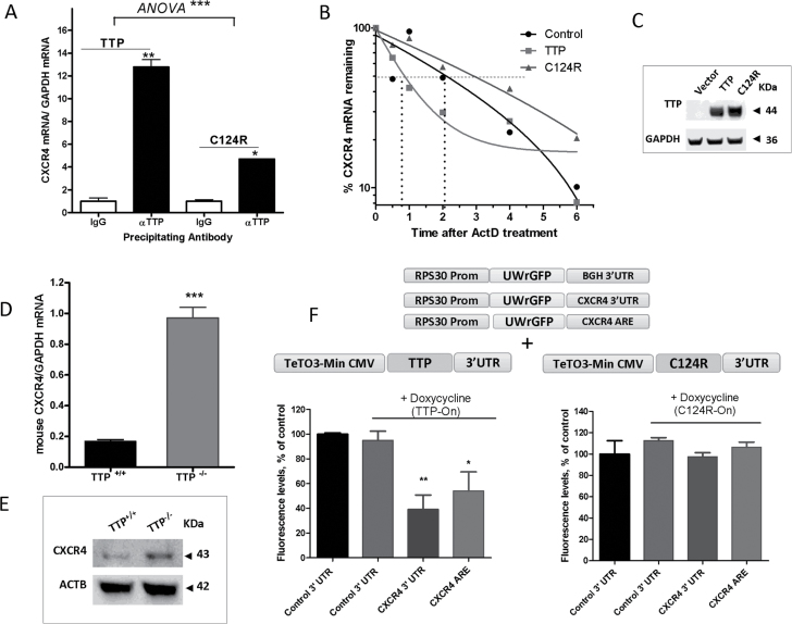TTP regulation of CXCR4 mRNA and protein. ( A ) Quantitative PCR (qPCR) quantification of CXCR4 mRNA associated with TTP protein. MDA-MB-231 cells were transfected with TTP or C124R expression plasmids for 24h. Cells were lysed, and TTP and C124R proteins were immunoprecipitated using anti-TTP or normal IgG control antibody. Quantification of associated CXCR4 mRNA was performed by qPCR using a FAM-labeled human CXCR4 Taqman expression probe and normalized to a VIC-labeled GAPDH probe. Data are from one experiment representative of two independent experiments * P