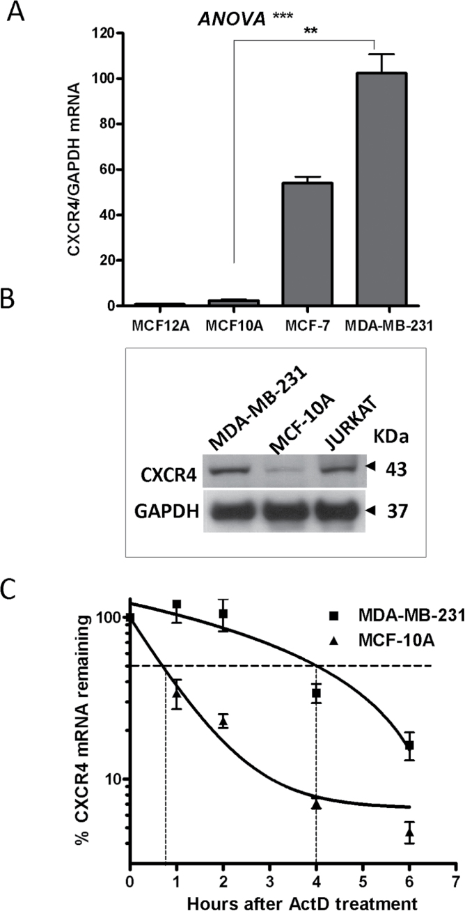 CXCR4 expression in breast cancer cells. ( A ) CXCR4 mRNA levels in breast cell lines by quantitative PCR (qPCR) using a human CXCR4 probe normalized to GAPDH. Data are from one representative experiment out of three independent experiments, ** P