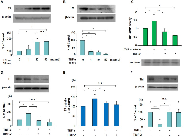 Suppressive effects of TIMP-2 on the changes in TF and TM expression and MT1-MMP activity in response to TNF-α. (A and B) TNF-α-induced TF and TM expression in a dose dependent manner. ECs were treated with TNF-α (1 to 50 ng/mL) for 18 hours. Immunoblots are from an experiment representative of 3 similar experiments. (C) Effect of TNF-α on MT1-MMP activity. ECs were pretreated with 40 nmol/L TIMP-2 for 60 min and then stimulated by TNF-α (10 ng/mL), and thereafter MT1-MMP activity was determined as described in the Methods section. Results are expressed as means±SD of 4 separate experiments. * P