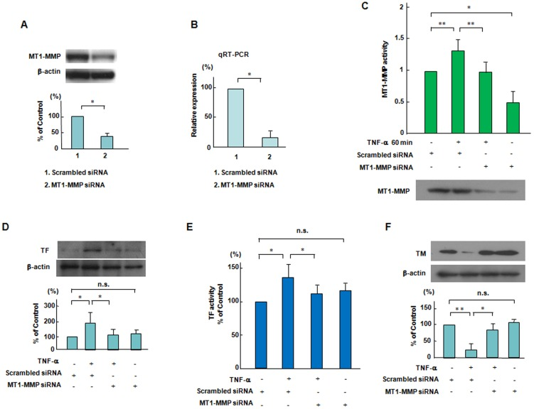 Effects of siRNA-mediated knockdown of MT1-MMP on the changes in TF and TM expression and MT1-MMP activity in response to TNF-α. (A and B) Effects of knockdown of MT1-MMP by siRNA on the MT1-MMP protein and mRNA levels. ECs were transfected with siRNA to MT1-MMP. siRNA-mediated knockdown of MT1-MMP significantly reduced MT1-MMP protein levels and mRNA as compared to the scrambled negative control. Bars are the means±SD of quantitative densitometric analyses from 4 separate experiments. * P