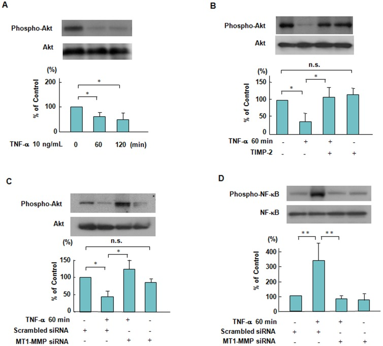 Suppressive effects of TIMP-2 and MT1-MMP siRNA on Akt and NF-κB phosphorylation in response to TNF-α. ( A ) TNF-α-induced Akt phosphorylation in a time dependent manner. ECs were treated with 10 ng/mL TNF-α for 120 minutes, followed by Western blotting. Akt phosphorylation was reduced by approximately 36% within 60 minutes in ECs stimulated by TNF-α. Bars are the means±SD of quantitative densitometric analyses from 4 separate experiments. * P