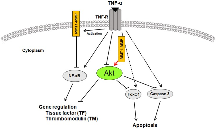 Schematic diagram describing the mechanisms of MT1-MMP/Akt signaling axis in TNF-α-dependent procoagulant activity and apoptosis of ECs. A crucial role of MT1-MMP in Akt-dependednt signaling pathways in TNF-α stimulation. MT1-MMP in the cytoplasm of ECs forms a complex with Akt in the intracellular signaling pathways in TNF-α-stimulated ECs. The interaction between MT1-MMP and Akt regulates TNF-α-induced changes in TF and TM expression in ECs and contributes to endothelial apoptosis through FoxO1 phosphorylation as well as caspase-3 activation.