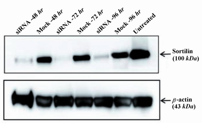 Western blot analysis of sortilin protein levels in siRNA-transfected cells. Densitometric analysis showed that the level of sortilin was markedly reduced by 72, 69 and 61% in siRNA-treated cells as compared to mock control-treated cells at 48, 72 and 96 hr after transfection, respectively. The level of β-actin as an internal protein loading control was detected in each sample