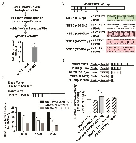 miR-603 directly interacts with the 3'UTR of MGMT (A) MGMT mRNA co-precipitated with biotinylated miR-603. 48 hours after biotinylated miR-603 or biotinylated non-targeting miRNA (30nM) was transfected into A1207 cells, cells were lysed and treated with streptavidin coated magnetic beads. qRT-PCR was performed to determine the relative abundance of MGMT mRNA and GAPDH mRNA (control). There was a significant enrichment of MGMT mRNA in the biotinylated miR-603 pull-down relative to the non-targeting miRNA pull-down. (B) Predicted miR-603 binding sites (MREs) in 3'UTR of MGMT. MRE prediction was performed using Targetscan 4.2. (C) Co-transfection of a luciferase reporter vector with the full length MGMT 3'UTR and miR-603 mimics resulted in a significant loss of luciferase activity. A1207 cells were seeded at a 5x10 5 cells per well. 24 hours after seeding, cells were transfected with both miR-603 and the MGMT 3'UTR or non-targeting miRNA and the MGMT 3'UTR. The NOTCH 3'UTR was co-transfected with miR-34a as a positive control. Luciferase activity was assessed 48 hours after co-transfection. (D) Mutation of miR-603 MRE in the MGMT 3'UTR abolished the suppressive effect of miR-603. Truncated versions of the MGMT 3'UTR were constructed and tested as above described. Mutations of the first three MREs disrupted the luciferase suppressive effect of miR-603.