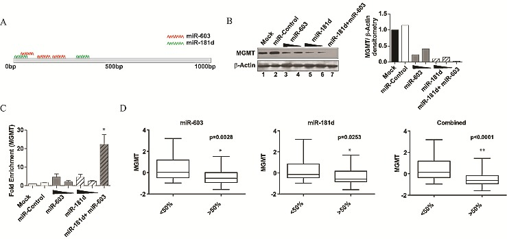 miR-603 and miR-181d act cooperatively to silence MGMT (A) Schematic representation of the predicted miR-181d and miR-603 binding sites on MGMT 3'UTR. MRE prediction was performed by Targetscan 4.2. The miR-181d MREs were previously published [ 17 ]. The first three miR-603 MREs are as shown in Figure 3D . (B) miR-603 and miR-181d cooperate to suppress MGMT expression. A1207 cells were seeded at 5x105 cells per well. 24 hours after seeding, cells were transfected with miR-603 (25nM or 30 nM), miR-181d (5nM, 30nM) or a combination of miR-603(25nM) and miR-181d (5nM). Non-targeting miRNA (30nM) was transfected as a control. MGMT expression was assessed by Western blotting 72 hours after transfection. Quantitative assessment of MGMT expression is shown on the right panel. (C) Cooperative binding of miR-603 and miR-181d to MGMT mRNA. Biotinylated miR-603 (15nM or 20nM) or biotinylated miR-181d (5nM, 20nM) were transfected in A1207 cells. Biotinylated non-targeting miRNA (20nM) were transfected as a control. 48 hours after transfection, cells were lysed and treated with streptavidin coated magnetic beads. An increase in MGMT mRNA precipitation is seen with a combination of biotinylated miR-603 and biotinylated miR-181d. This effect is not observed with increasing concentrations of either miRNA by itself. (D) An index of miR-181d and miR-603 more closely mirrors MGMT expression in glioblastoma specimens than each individual miRNA. To avoid arbitrary cut offs, we examined MGMT expression in the specimens dichotomized by the median expression of miR-181d, miR-603, or a combined index of miR-181d and miR-603. Student's t-test was performed to assess whether MGMT expression differed significantly between the miR-high and miR-low groups. P-values of the comparison are as shown.