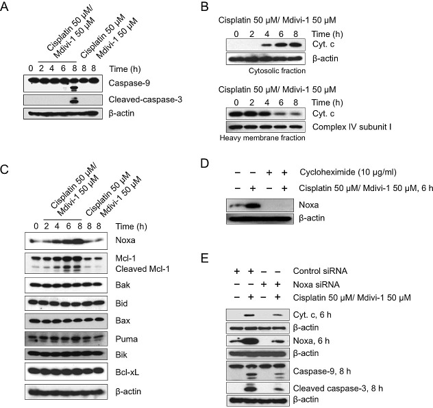 The combination of cisplatin and mdivi-1 preferentially upregulates Noxa and enhances subsequent mitochondrial apoptotic signaling (A) H1299 cells were treated with cisplatin alone, mdivi-1 alone, or the combination of cisplatin and mdivi-1 as indicated Western blot was then performed to detect the cleavage of caspase-9 and -3. (B) Cytochrome c release from mitochondria into cytosol. H1299 cells were treated with the combination of cisplatin and mdivi-1 at 50 μM with the presence of 20 μM caspase inhibitor Q-VD-OPH for the indicated time. The cytosol and heavy membrane fraction were then isolated using digitonin permeabilization followed by centrifugation. The amount of cytochrome c present in each fraction was detected by western blot. (C) The changes in the levels of pro-apoptotic and anti-apoptotic Bcl-2 family proteins. (D) The effect of cycloheximide on the levels of Noxa following the combination treatment. (E) H1299 cells were transfected with control or Noxa-specific siRNA for four days, and then treated with cisplatin and mdivi-1 as indicated. Noxa knockdown efficiency, mitochondrial release of cytochrome c, and the cleavage of caspase-9 and -3 were determined by western blot. These data represent three independent experiments.