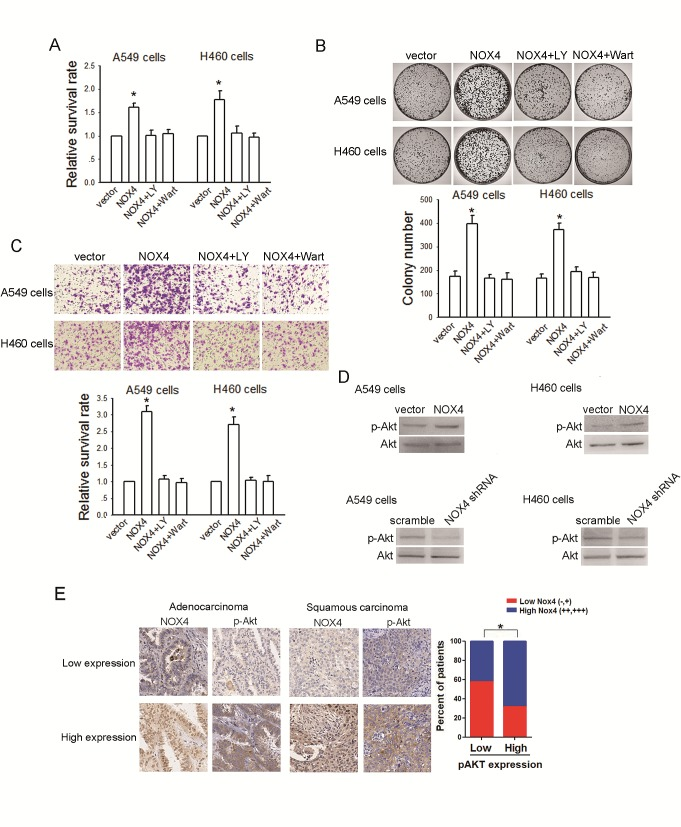 NOX4 promotes NSCLC progression through activating PI3K/Akt pathway in vitro (A-C) Stably NOX4 overexpressing A549 and H460 cells were treated with 30 μM of LY294002 or 10 μM of Wortmannin and control solvent. The proliferation of cells was evaluated using MTT assay (A) and colony formation assay (B). The invasion of cells was evaluated using Matrigel transwell assay (C). (D) NOX4 overexpressing or silencing led to increase or decrease in Akt activation in A549 and H460 cells measured by western blotting. Akt activity was represented as the levels of phosphorylated or total forms of Akt. Bars are mean ± SD from four independent experiments. *Significantly different from vector control, P