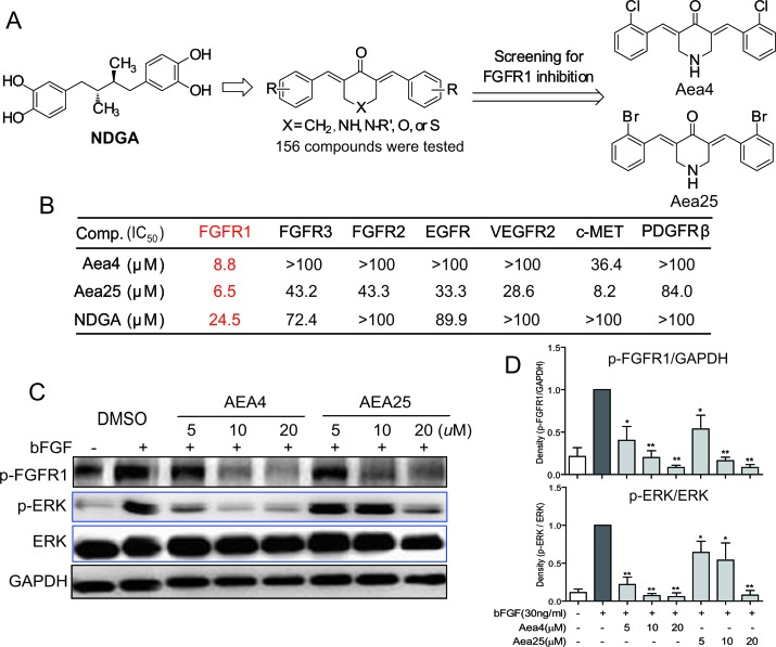 NDGA analogs Aea4 and Aea25 inhibited FGFR1 activities (A) The profile of design and FGFR1 kinase inhibition assay of NDGA analogs. (B) Aea4 and Aea25 selectively inhibit FGFR1. Compounds were performed with caliper mobility shift assay for RTK inhibition, and the IC 50 values were calculated using conversion rates. The data were shown as a mean of 3-5 independent tests. (C and D) FGFR1 over-expressing 293 cells were pretreated with compounds at indicated concentrations or vehicle (0.1% DMSO), respectively. Then, cells were stimulated with bFGF (30 ng/mL) for 10 min, and the phosphorylation level of FGFR1 and ERK in cell lysates was measured by western blot analysis. The figures were representative of 3 separate experiments (C). The column figure shows the normalized optical density as a percentage of total protein control (D). Statistical significance relative to bFGF alone group was expressed, * P