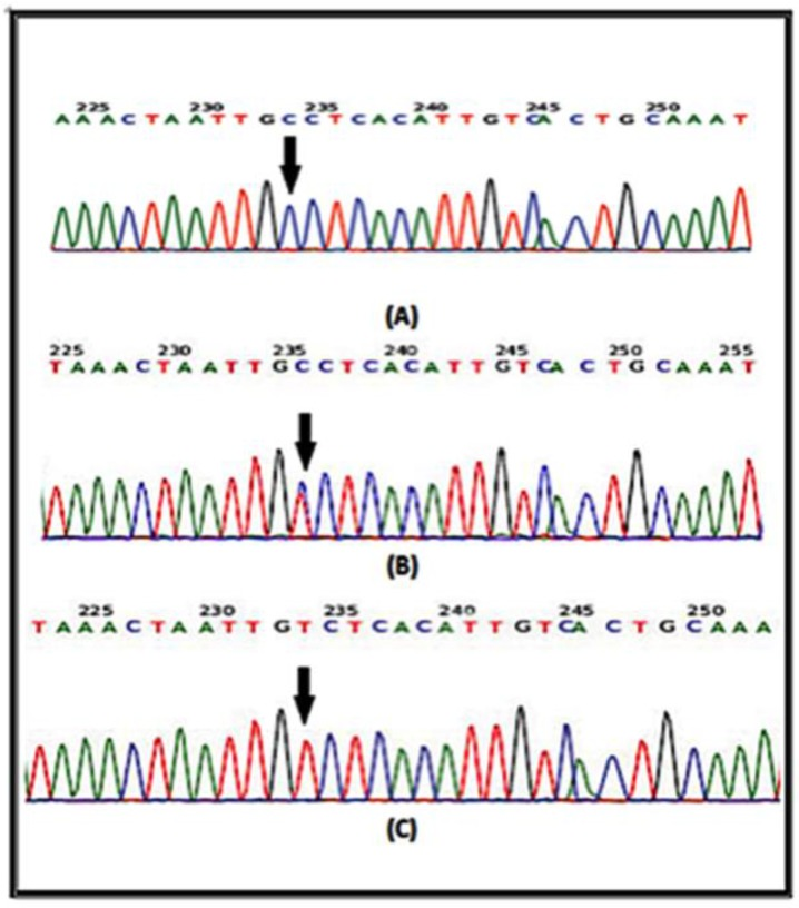 DNA sequencing from portions of the IL-4 gene from the forward strand are shown. The arrow indicates the position of SNP rs2070784 a: represents the genotype CC; b: TC and c: TT.