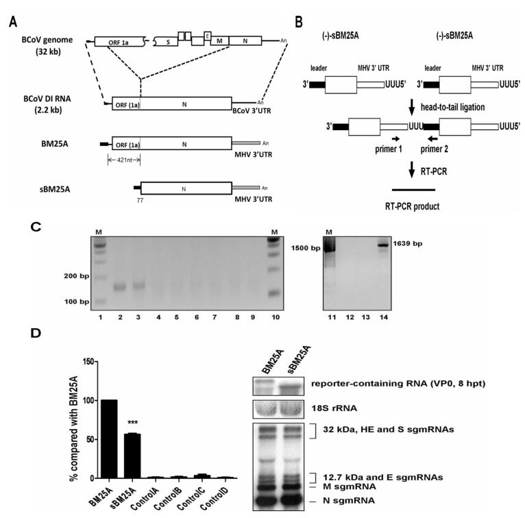 Comparison of the efficiency of the (−)-strand RNA synthesis between sgmRNA 7 and BCoV DI RNA with the strategy of head-to-tail ligation. ( A ) Upper panel: schematic diagram depicting the BCoV genome and BCoV DI RNA. Lower panel: constructs BM25A and sBM25Awith the 3' UTR of both constructs replaced with the MHV 3' UTR. ( B ) Strategy for detection of (−)-strand sgmRNA with head-to-tail ligation. ( C ) RT-PCR product synthesized with the strategy described in Figure 1 B. Lane 2, BM25A-transfected BCoV-infected cells; lane 3, sBM25A-transfected BCoV-infected cells; lane 4, mock-infected cells; lane 5, BCoV-infected and mock-transfected cells; lane 6, BM25A-transfected mock-infected cells; lane 7, sBM25A-transfected mock-infected cells; lane 8, a mixture of BCoV-infected cellular RNA extracted at 8 hpt and 200 ng of BM25A transcript; lane 9, a mixture of BCoV-infected cellular RNA extracted at 8 hpt and 200 ng of sBM25A transcript. RT-PCR was used to detect the potential recombination between the BCoV genome and BM25A (lane 12) or sBM25A (lane 13). A recombinant DNA of 1639 bp was produced to serve as a size marker (lane 14). M (lanes 1, 10 and 11), ds DNA size markers in nt pairs. ( D ) Left panel: the relative efficiency of (−)-strand RNA synthesis from constructs BM25A and sBM25A, as measured by RT-qPCR. Control A: total cellular RNA from mock-infected cells. Control B: total cellular RNA from BCoV-infected cells. Control C: total cellular RNA from sBM25A-transfected mock-infected cells. Control D: a mixture of BCoV-infected cellular RNA extracted at 8 hpt and 200 ng of BM25A transcript. Right panel: measurements of reporter-containing RNA (BM25A and sBM25A), 18S rRNA and BCoV sgmRNAs at 8 hpt (VP0) by Northern blot assay. The values (D) represent the mean ± SD of three individual experiments. ** * p