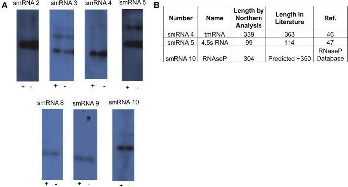 "Northern blot analysis of novel sRNAs. (A) A 20 μg sample of <t>RNA</t> was analyzed via Northern Blot analysis to confirm expression and size of putative sRNAs. All putative sRNAs that were examined were confirmed. <t>sRNA</t> expression was also tested under conditions related to those used for RNA-seq. Growth for 90 min under iron replete conditions (indicated by ""+""), and growth for 90 min under iron deplete conditions (indicated by ""−""). Experiments were performed three times and a representative film is shown. (B) Table showing previously known non-coding sRNAs that were also found in this study."