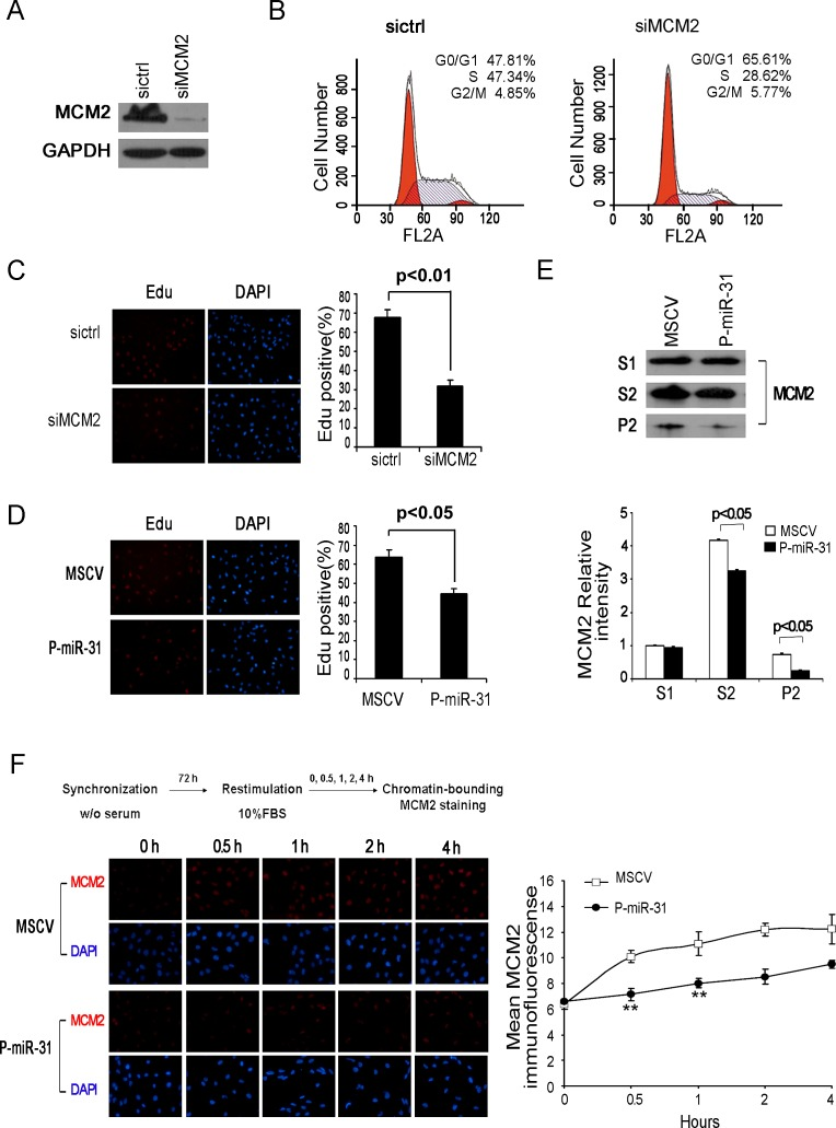 MiR-31 regulates MCM2 function at the DNA replication origin (A) DAOY cells, transfected with MCM2 siRNA for 48 h, were harvested and the whole-cell extracts were immunoblotted with antibody against MCM2. GAPDH was shown as a loading control. (B) Flow cytometric histograms of propidium iodide-stained DAOY cells transfected with control siRNA, MCM2 siRNA for 48 h. The percentages of cells in G1, S and G2 phase of the cell cycle were determined by analysis with the Multicycle computer software. (C) Edu incorporation assays of DAOY cells transiently transfected with control siRNA or siMCM2, and (D) stable miR-31-expressing DAOY cells. The percentage of Edu positive cells was blindly calculated with counting several nonoverlaping fields. Values are means ± SD. (E) Western analysis of chromatin-bound MCM2. DAOY cells stably expressing miR-31 were fractionated into Triton-soluble (S1 fraction) and –insoluble fractions by CSK/0.5% Triton X-100 buffer. The latter fractions were extracted with DNase I and salt. The supernatant (S2 fraction, containing DNase-released chromatin-associated proteins) and pellet (P2, containing insoluble, cytoskeletal, and nuclear matrix proteins) were collected for immunoblotting assay. Bottom panel shows the relative intensity of MCM2 in S1, S2 and P2 fractions. The expression level of Triton-soluble MCM2 in MSCV cells was set to 1. (F) Fluorescence detection of chromatin-bound MDM2 in synchronized DAOY cells. Stabe DAOY cells overexpressing miR-31 were synchronized at the G0/G1 boundary by serum deprivation and thereafter were released into fresh medium containing 10% serum. At the times indicated after the release, cells were extracted with CSK/0.5% Triton X-100 buffer before fixation and then stained with α-MCM2 (red) and DAPI (blue). Right panel shows the average MCM2 immunofluorescence per nucleus of vector control and miR-31 expressing DAOY cell nuclei at the G1/S transition. Data represent averages of three independent experiments in tri