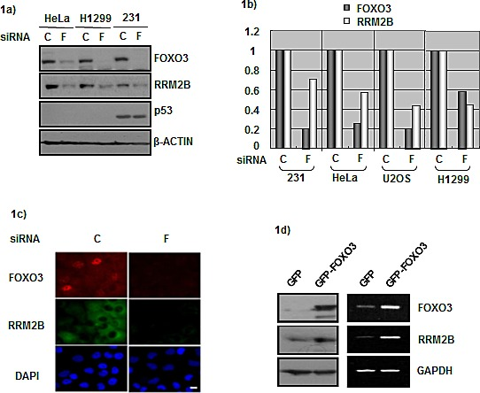 FOXO3 and RRM2B expression correlate in cancer cells a) HeLa, H1299, and MDA-231 cells were treated with either control siRNA (C) or FOXO3 siRNA (F) for 72 hours, and harvested for Western blot analysis with antibodies anti-FOXO3, anti-RRM2B, anti-p53, and anti-β-ACTIN (as loading control). b) Cells were treated with control or FOXO3 siRNA for 72 hours. Samples from U2OS, MDA-231 and HeLa cells were analyzed by qPCR. H1299 cells were analyzed by PCR, and then relative expression was analyzed by image J software. c) H1299 cells were seeded onto the coverslips in culture dishes. Cells were treated with siRNA for 72 hours, fixed and then immunoflourescence assay was performed. DAPI served as nuclear marker. d) H1299 cells were transfected with indicated plasmids, and then harvested for Western blots and RNA expression analysis 48 hours later.