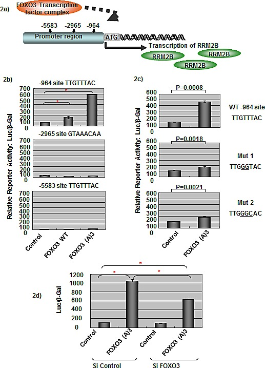FOXO3 activates RRM2B transcriptional activity a) The graph shows three putative FHREs on the RRM2B promoter, where FOXO3 could potentially bind to and activate RRM2B transcription. b) Cells were co-transfected with different FHRE of RRM2B-Luc and either control, WT, or FOXO3(A)3 plasmids as indicated, and then reporter assays were carried out. (means ± SEM, n = 2). c) Cells were co-transfected with WT or RRM2B-Luc (-964) mutants and either control or FOXO3(A)3 plasmids as indicated, and reporter assays were performed. (means ± SEM, n = 2). d) Cells were co-transfected with WT RRM2B-Luc and either control or FOXO3(A)3 plasmids as well as treated with control or FOXO3 siRNA and analyzed by reporter assay 48 hours later. (means ± SEM, n = 3).