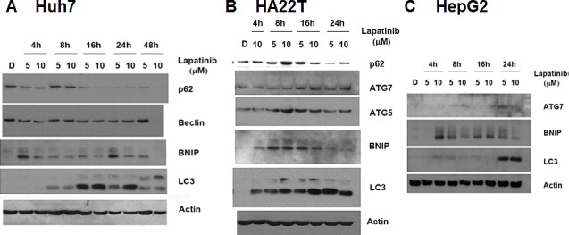 Induction of LC3 aggregations and autophagy-related genes by lapatinib in Huh7 (A), HA22T (B) and HepG2 (C) HCC cells. Cells were treated with DMSO or 5 or 10 μM lapatinib treatment for 4-48h as indicated. Cell lysates were then collected, subjected into 12% SDS-PAGE, and immunoblotted with antibodies against p62, Beclin, BNIP, ATG5, ATG7 LC3 and actin.