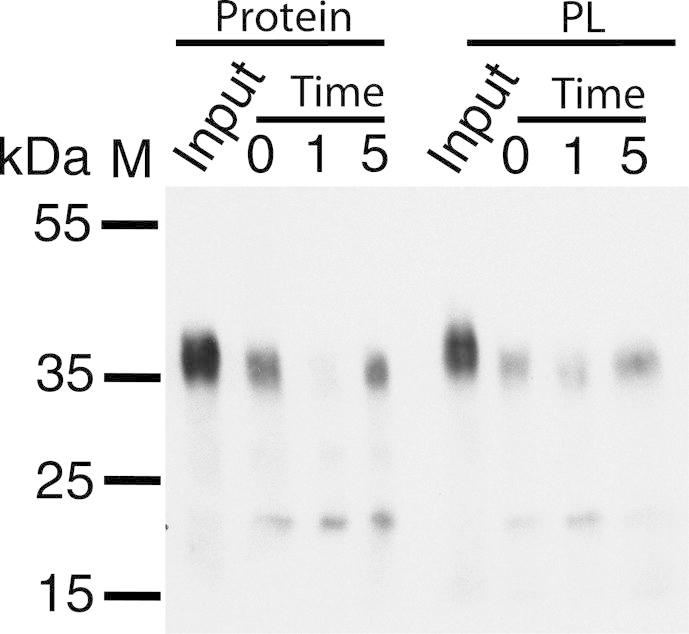 Susceptibility of the C-terminal V5 tag to proteolysis as a measure of protein orientation. Western blotting shows that Proteinase K immediately digests the C-terminal V5 epitope of PcaK in detergent micelles ( Protein) and after reconstitution into proteoliposomes ( PL ), suggesting that the C-terminal of the reconstituted protein is exposed at the proteoliposome exterior. Time in minutes.