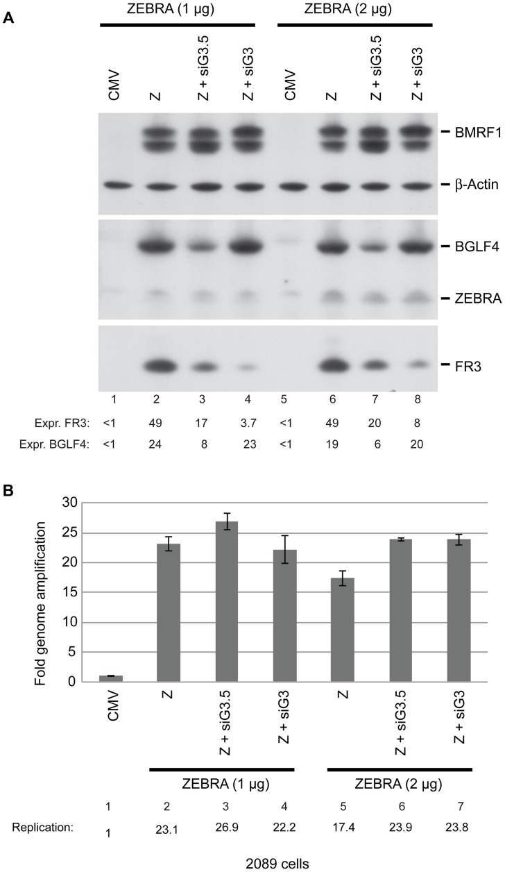 BGLF3 regulates late gene expression. A) Western blot analysis of EBV lytic proteins to study the effect of knocking down expression of BGLF3 and BGLF3.5. 2089 cells were transfected with two concentrations of the ZEBRA expression plasmid and siRNAs to BGLF3 (siG3) and BGLF3.5 (siG3.5). Cells were harvested after 48 hours of transfection. The membrane was blotted with antibodies specific to BGLF4, ZEBRA and the late FR3 protein. The level of β-actin used as a loading control. B) Total DNA was prepared from the same samples and was analyzed by quantitative PCR for the level of the upstream region of oriLyt as a marker for EBV replication. The relative DNA concentration was calculated using the standard curve method. The experiment is a representation of two biological replicates.