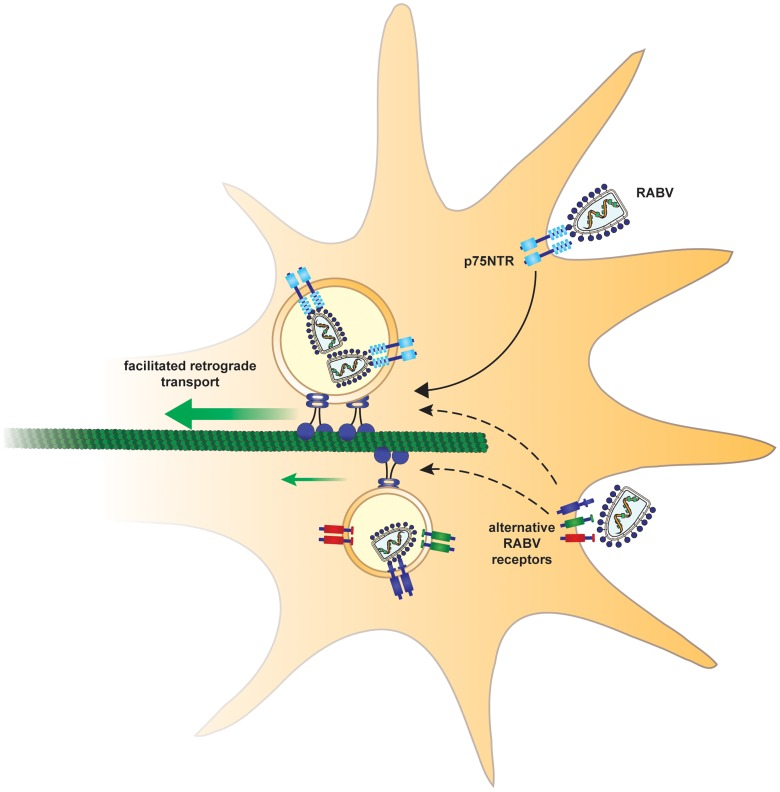 Suggested model. In order to arrive at the cell body and subsequently the CNS, rabies virus hijacks a fast route using the p75NTR endosomal pathway. In a p75NTR dependent path, RABV manipulates the axonal transport machinery to migrate faster to the cell body. An alternative, slower path, may involve alternative RABV receptors.