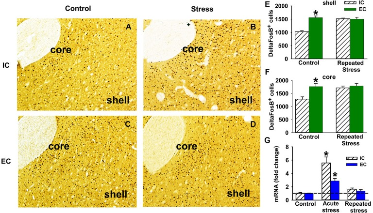 Stress and ∆FosB in EC and IC rats. (A–D) Representative immunohistochemistry DAB staining of ΔFosB in NAc shell and core of IC ( A and B ) and EC ( C and D ) rats with ( B and D ) and without ( A and C ) repeated stress ( N = 3). (E) Quantification of the number of ΔFosB positive cells (±SEM) in NAc shell induced by repeated restraint stress in IC and EC rats. (F) Number of ΔFosB positive cells (±SEM) in NAc core induced by repeated restraint stress. (G) Fold change of ΔFosB mRNA (±SEM) induced by acute and repeated restraint stress in IC and EC rats (30 min; N = 5). Asterisks (*) denote significant difference from corresponding control.