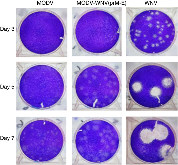 Comparison of the plaque morphologies of MODV-WNV(prM-E) and the parental viruses in Vero cells. Confluent monolayers of Vero cells in six-well plates were inoculated with MODV-WNV(prM-E), MODV or WNV. Cells were fixed and plaques were visualized by staining with crystal violet at 3, 5 and 7 days p.i. Images were transferred into Microsoft Photoshop and plaque diameters were measured. The chimeric virus had been passaged one in BHK-21 cells and twice in Vero cells prior to this experiment.