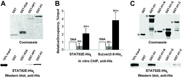 H1 physically interacts with STAT92E. Protein-protein interactions between purified STAT92E and H1 were examined in vitro by GST pull-down and ChIP. (A) GST and GST fusion proteins with full-length H1, HP1 or H2A were expressed and purified from E. coli and analyzed by GST pull-down with baculovirus-expressed purified recombinant STAT92E-His 6 . The pull-down samples were examined by SDS-PAGE and Coomassie staining ( top ) or immunoblotting with anti-His 6 antibody ( bottom ). As a control, 10% of the input STAT92E-His 6 was examined. (B) Binding of STAT92E and Su(var)3-9 to reconstituted chromatin was analyzed by in vitro ChIP. Oligonucleosomes were reconstituted on supercoiled plasmid DNA with purified native core histones, with ( H1+ , dark-gray bars ) or without ( H1– , light gray bars ) purified native H1. Non-sequence specific binding to the plasmid ( DNA , white bars ) was also examined. His 6 -tagged recombinant proteins were incubated with chromatin/DNA templates, cross-linked, immunoprecipitated with anti-His 6 antibody and occupancy was measured by real-time PCR of a fragment of the plasmid. The occupancy of proteins relative to input was normalized to occupancy on naked DNA and plotted. The presence of H1 in chromatin templates strongly stimulates binding of both STAT92E and Su(var)3-9 . All ChIP experiments were performed in duplicate, and each biological sample was analyzed by PCR in triplicate. Error bars represent standard deviation of six experimental points. (C) GST and GST fusion proteins with full-length H1, H1 N-terminal domain (H1-N, amino acid residues 1–40), the globular domain (H1-G, residues 41–119) and the C-terminal domain (H1-C, 120–256) were expressed and purified from E. coli and used in GST pull-down experiments with baculovirus-expressed purified recombinant STAT92E-His 6 . The pull-down samples were examined as in (A) . Full-length polypeptides of GST fusion proteins are indicated by open triangles . STAT92E associates with GST fusi