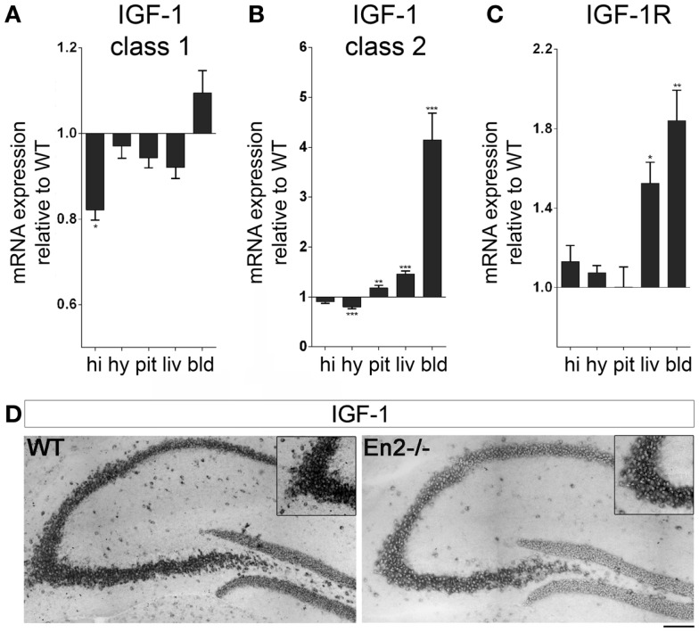 Expression of IGF-1 and IGF-1R mRNAs in the neuroendocrine axis of WT and En2 −/− mice . (A,B) Quantitative RT-PCR for IGF-1 class 1 (A) and class 2 (B) transcripts. (C) IGF-1R quantitative RT-PCR. Values are plotted as each gene/L41 comparative quantitation ratios normalized on the expression of WT (mean ± SEM of three replicates from pools of six animals per genotype; * p