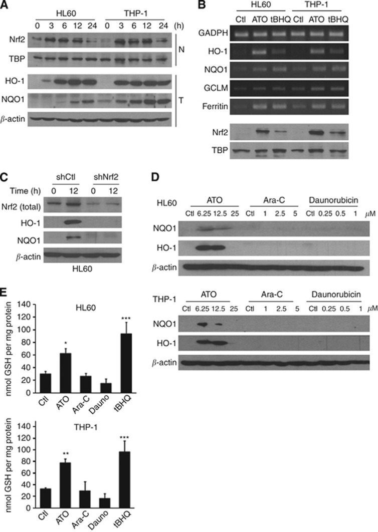 ATO induced Nrf2 targets in AML cells. ( A ) HL60 and THP-1 nuclear (N) or total (T) protein levels of Nrf2, TBP1, HO-1, NQO1 and β -actin. Cells were incubated for 24 h with 6.25 μ M ATO. ( B ) Reverse-transcription PCR (upper panels) analysis of GAPDH, HO-1, NQO1, GCLM and ferritin targets mRNA levels and nuclear Nrf2 translocation (bottom panels) in HL60 and THP-1 cells following ATO (6.25 μ M ) or t -BHQ (25 μ M ) treatments for 24 h. ( C ) HL60 cells were electroporated either with the pRS-control or pRS-shNrf2 plasmids and treated with ATO (6.25 μ M ) for 12 h. Total protein extracts were analysed for the presence of Nrf2, NQO1, HO-1 and β -actin by immunoblotting. ( D ) HL60 and THP-1 cells were treated with different concentrations of ATO, Ara-C or daunorubicin for 24 h, as indicated. Following treatment, total protein extracts were prepared and NQO1, HO-1 and β -actin protein levels were evaluated by immunoblotting. A typical western blot out of three experiments is shown. ( E ) GSH content was determined in HL60 and THP-1 cells treated with ATO (6.25 μ M ), Ara-C (5 μ M ), daunorubicin (0.5 μ M ) or t -BHQ (25 μ M ) for 24 h. Statistically significant differences with respect to the control condition are indicated (means±s.e.m.; n= 3; * P ⩽0.05, ** P ⩽0.01, *** P ⩽0.001). Ctl, control.