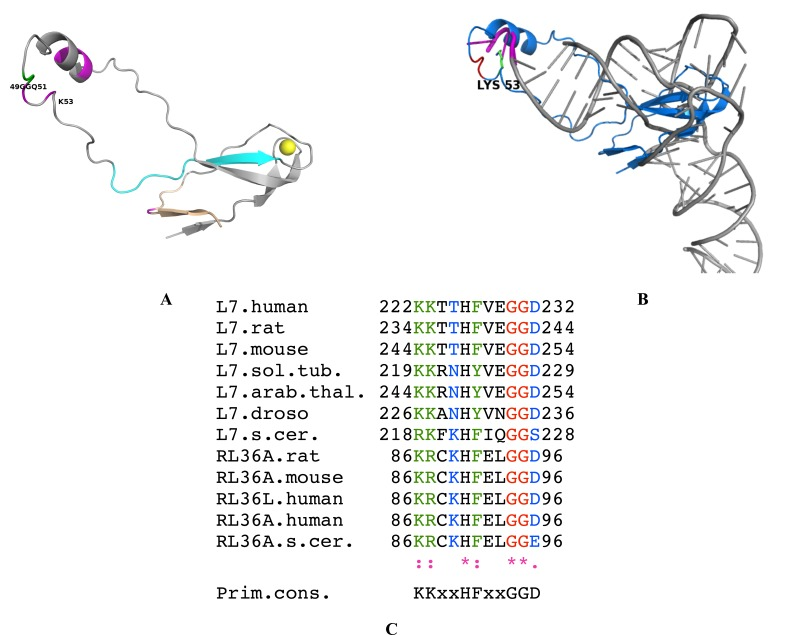 Model of the L36AL protein and of its interaction with tRNA. ( A ), ribbon representation of the 3-D structure of human RPL36AL (fragment 1-94) modeled by homology with the crystallographic structure of the archaeal counterpart RPL44E of the 60S ribosomal subunit from Haloarcula marismortui. The post-translational modifications (including the methylated Q51) [ 7 ], and the consensus pattern 61Kx(TorV)KKxxL(KorR)xxC72 (numbering of human RPL36AL) of the L44e family of r-proteins are colored pink and cyan, respectively. The 49GG50 dipeptide of the GGQ motif is highlighted in green. A zinc ion represented by a cadmium colored yellow is also shown. Fragment 86-94 corresponding to the nucleotide binding motif 2 (NBD2) common to all eukaryotic RPL7 [ 29 ] and RPL36A/RPL44 is shown in wheat. ( B ), overlaid structures of tRNAPhe (PDB ID 1JGQ) colored grey and of human RPL36AL (blue). The GGQ motif is shown in red, the 3' terminal CCA trinucleotide of tRNA in pink, and the side chain of Lys-53 in green. ( C ), NBD2 [ 29 ] located in the C-terminal region of the eukaryotic RPL7 family (ortholog of the bacterial L30 protein) is conserved in the C-terminal region of the eukaryotic RPL36A/RPL44 family. The organisms are: Arabidopsis thaliana (arb. thal.), Drosophila melanogaster (droso.), Saccharomyces cerevisiae (s. cer.), Solanum tuberosum (sol. tub.). The bottom line labels residues as either strictly conserved (*), highly conserved (:) or weakly conserved (.). The alignment was generated with the program ClustalX.