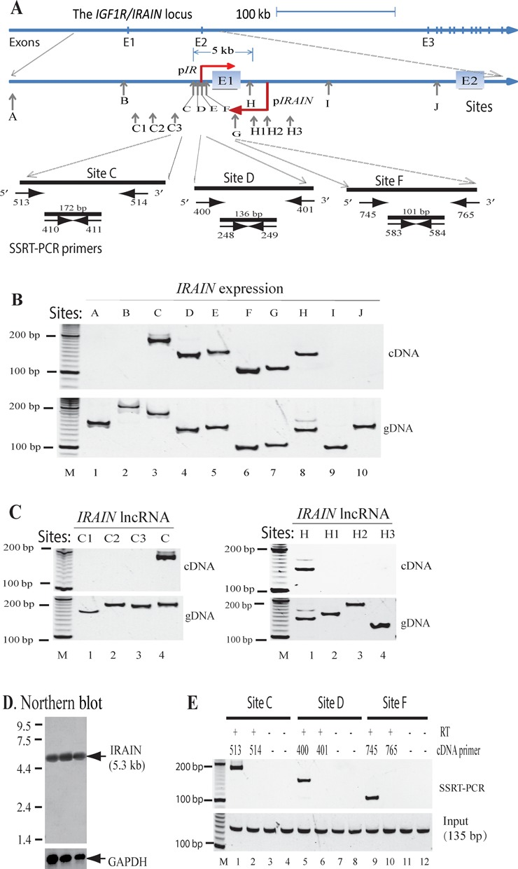 Characterization of IRAIN as an antisense lncNRA. ( A ) The diagram of the IRAIN / IGF1R locus. p IRAIN : IRAIN lncRNA promoter; p IR : IGF1R coding RNA promoter. Vertical arrows: the location of lncRNA PCR primers. ( B and C ) Mapping of the IRAIN lncRNA in K562 leukemia cells. gDNA: genomic DNA used as the control to test the efficiency of the PCR primers. M: 100 bp marker. ( D ) Northern blot of the IRAIN lncRNA in breast cancer tissues. Total RNA from three breast cancer tumors was separated on a 1.5% (w/v) denaturing agarose gel and was hybridized with the 32 P-dCTP labeled IRAIN cDNA clone probe. GAPDH was used as the control. E: IRAIN lncRNA is an antisense lncRNA. Horizontal arrows: SSRT-PCR primers used to map the orientation of IRAIN lncRNA. The strand-specific cDNAs were synthesized using either the 5′- or the 3′-oligonucleotides at sites C, D and F. A pair of PCR primers located between two cDNA oligonucleotides was then used to determine the transcription orientation of the IRAIN lncRNA. M: 100 bp marker; input: total RNA collected before SSRT-PCR; RT: reverse transcriptase.