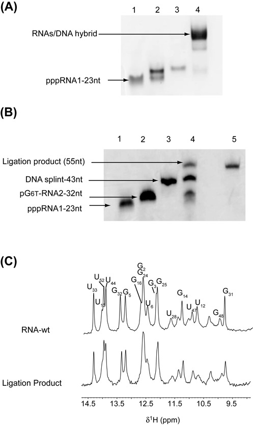 Synthesis of site-specific spin-labeled RNA. (A) Native gel electrophoresis on 10% polyacrylamide. RNA segments and DNA splint were loaded in the T4 RNA ligase 2 buffer: lane 1, (pG24 6T -C55); lane 2, (pppG1-G23); lane 3, DNA splint; lane 4, (pppG1-G23) + (pG24 6T -C55) + DNA splint. (B) Denaturing 12% polyacrylamide gel. Lane 1: RNA fragment (G1-G23) acceptor; lane 2: RNA fragment (pG24 6T -C55) donor; lane 3: DNA splint (43-nt); lane 4: preparative ligation; lane 5: purified ligation product. (C) Imino-proton region of 1D spectra recorded at 20°C of the wild-type RNA full-length (top) and the ligation product (bottom). All imino protons were assigned via sequential Nuclear Overhauser Effects (NOEs) observed in 2D-NOESY experiments, with the exception of the resonances at 10.37, 11.09 and 11.43 p.p.m. that could not be identified unambiguously.